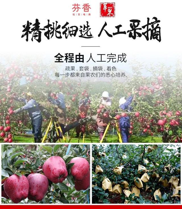 芬香助农新战报!助力甘肃花牛苹果10小时销售近40万斤!