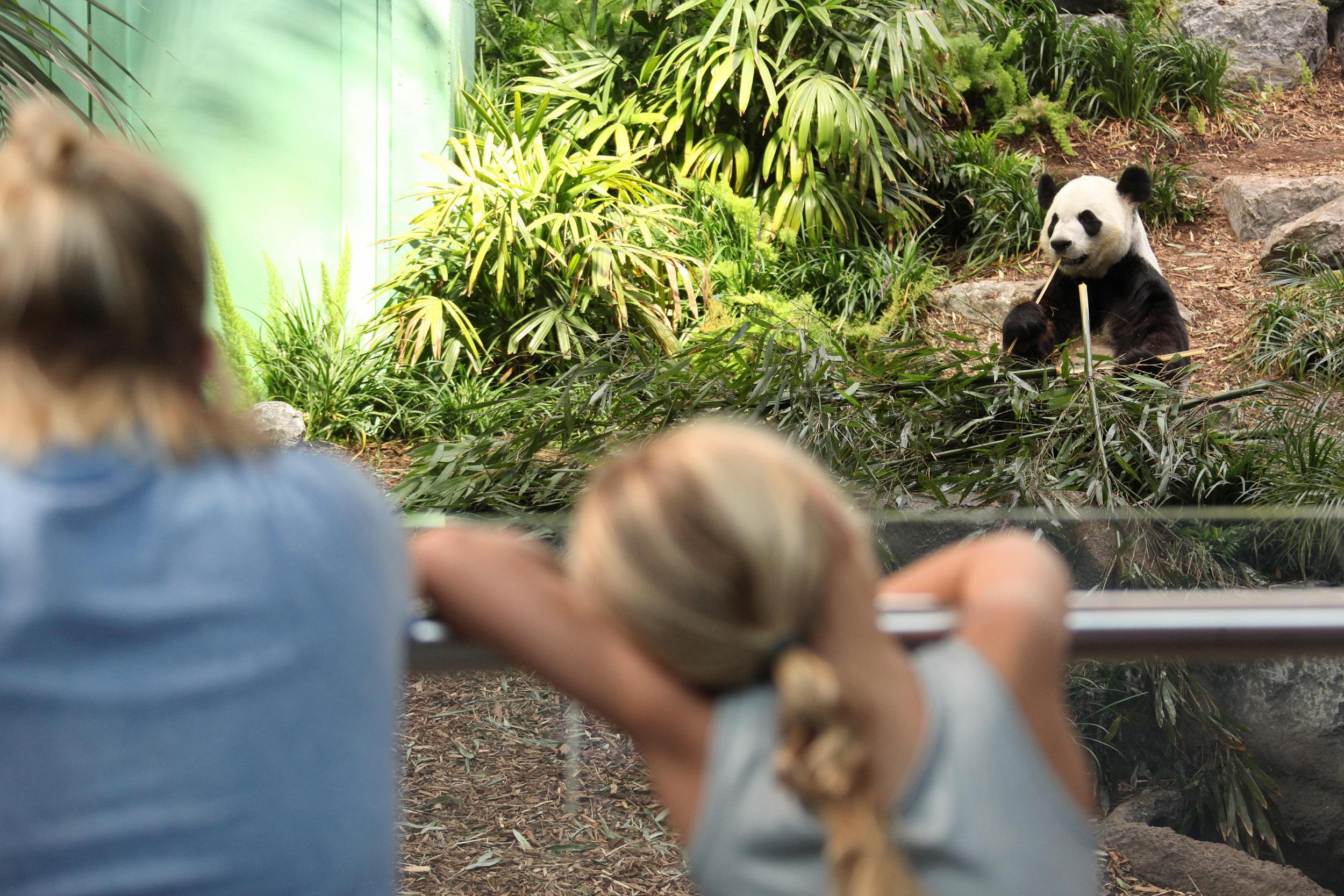 旅加大熊猫要断粮?成都大熊猫基地回应了