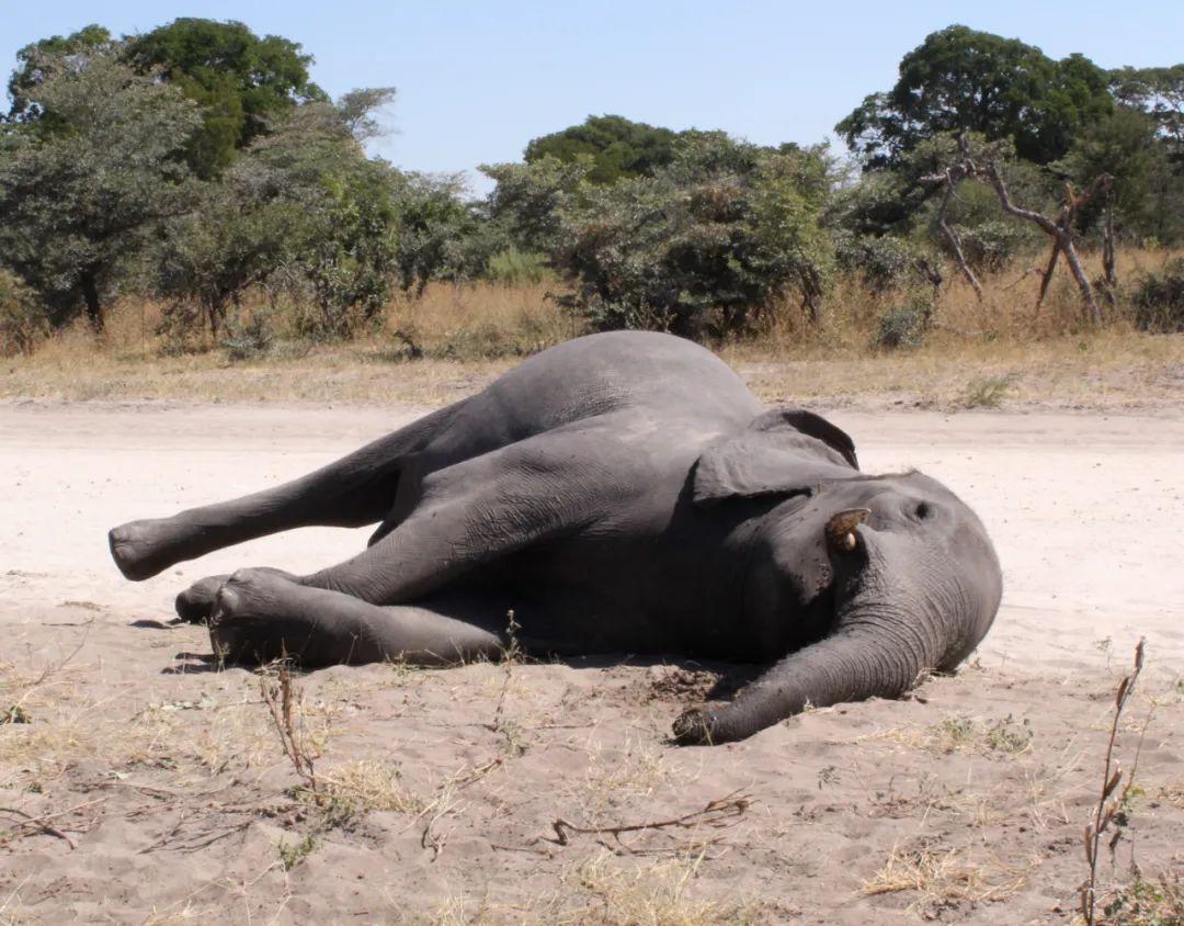 """【南阳爱播私密影院app下载】_数百头大象离奇死亡!疫情下的非洲""""大象王国""""发生了什么?"""