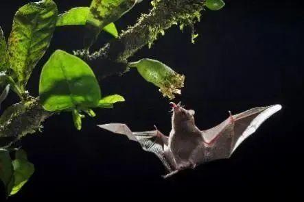 悬停在空中的食蜜蝙蝠   Glenn Barle