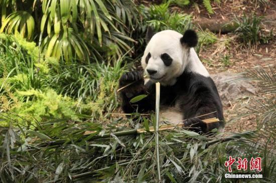 """【情趣用品使用】_因吃不到新鲜竹子,旅加大熊猫""""大毛""""和""""二顺""""提前回国了"""