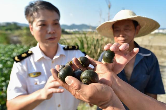 检验检疫人员向村民讲解外来有害生物福寿螺的危害 宋为伟/摄