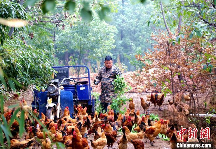 湖北枝江獨手青年薛家培利用屋后現有的山地資源發展土雞養殖業。 張圓 攝