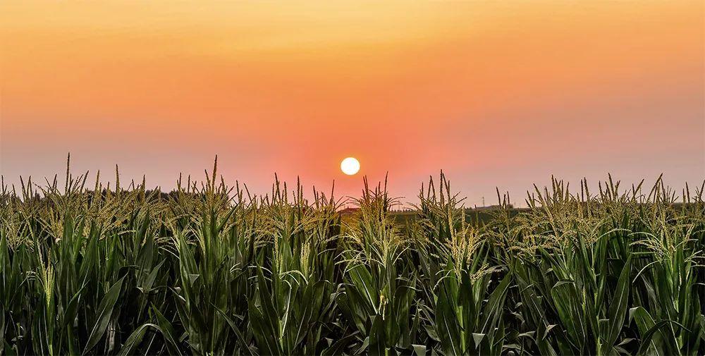 """丰收背后,种子安全隐忧浮现:洋种子会否成为农业""""芯片"""""""