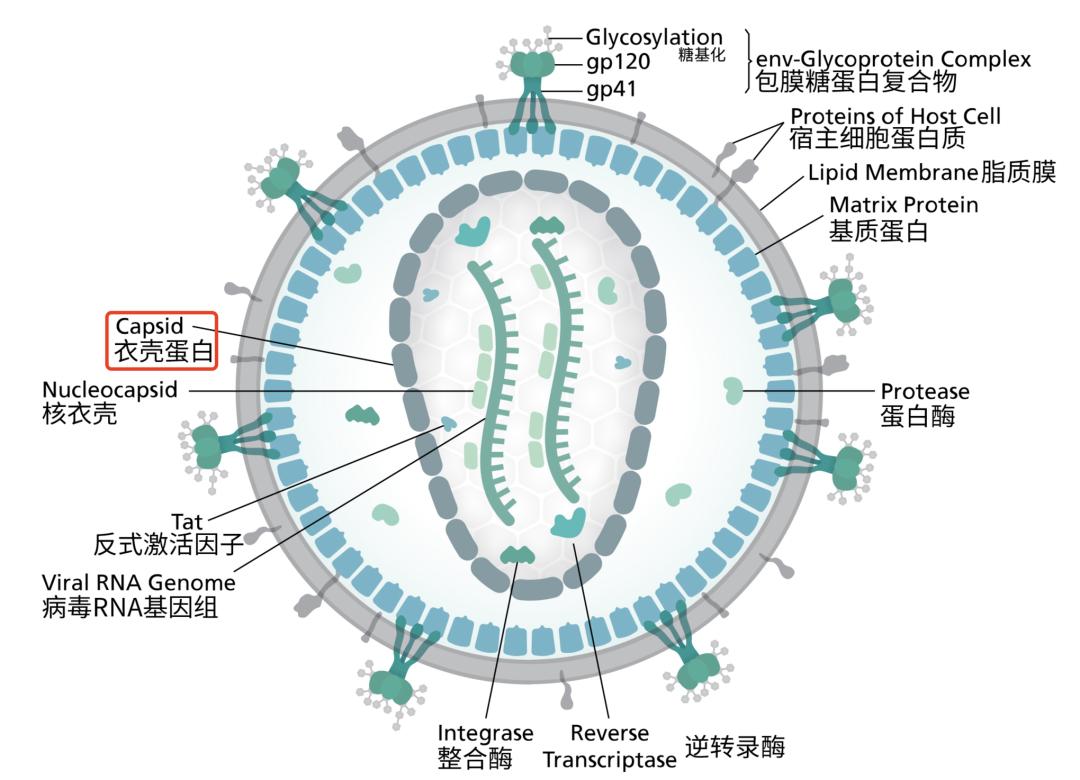 HIV 结构示意图   scistyle.com(汉化:麦麦)