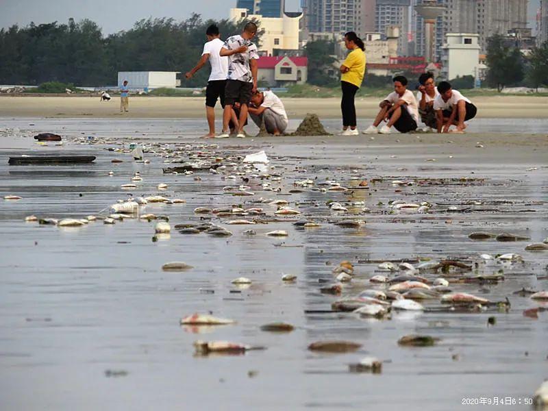 【提交网址】_广西北海银滩景区现大量死鱼绵延近4公里,原因不明