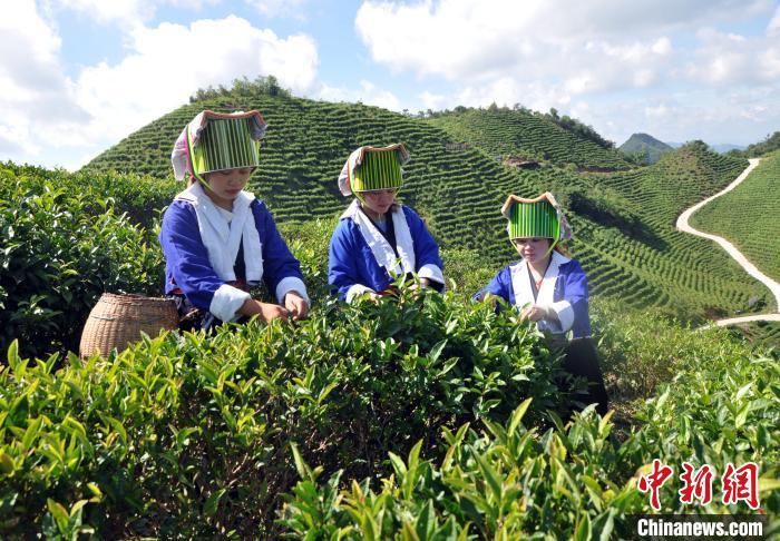 """在广西土瑶村寨,茶叶成脱贫致富""""金叶""""。图为广西土瑶民众在采茶。 黄艳梅 摄"""