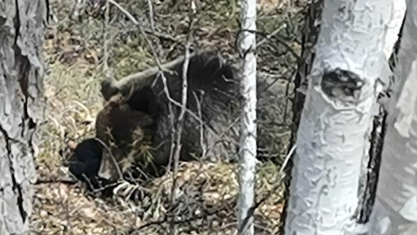 大兴安岭管护员近距离拍下野生棕熊