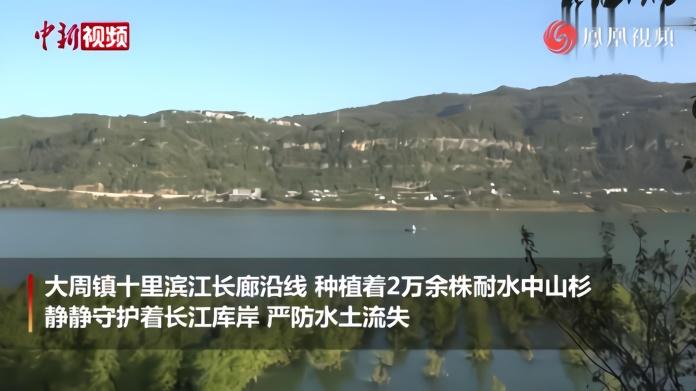 重庆万州:上万中山杉守护长江岸