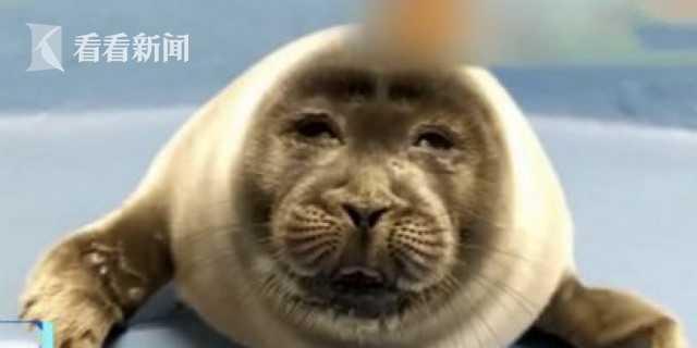 【挂黑链】_日本小海豹刚出生6个月 因形象酷似大叔成网红