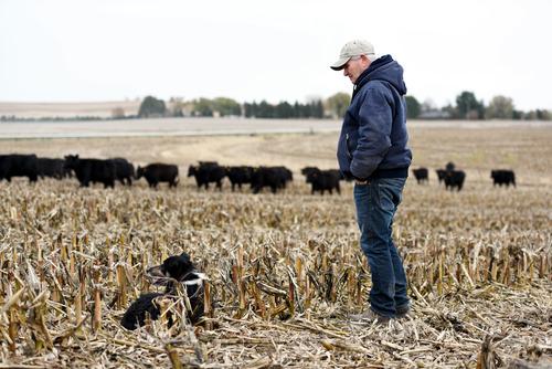 2017年10月31日,美国农场主比尔在他的家庭农场玉米地里放牛。新华社发