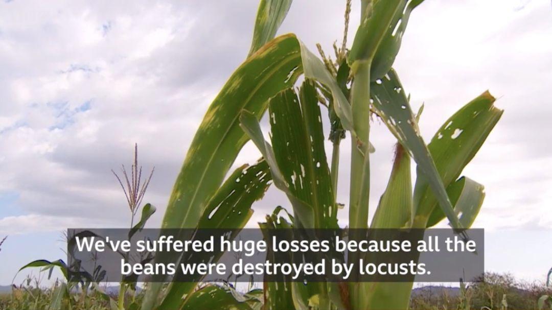 2020到底怎麼了?東非正遭遇3600億大蝗災「一天摧毀2500人糧食」…宛如世界末日:怕爆!
