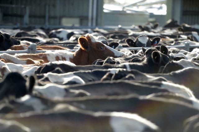 【西藏企划平台】_向中国运送近6000头牛的货船沉没后,新西兰暂停活牛出口