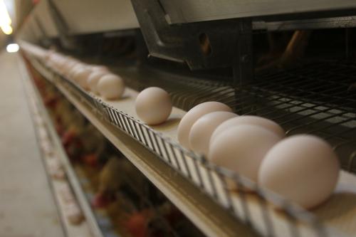 蛋鸡存栏量13.5亿羽 一斤鸡蛋不到3元 需求疲弱致鸡蛋期货创三年来新低