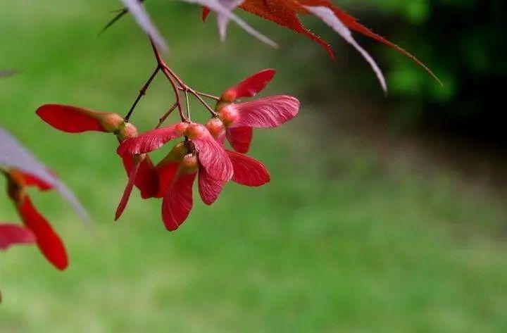 枫树种子. 图片来自:ask nature