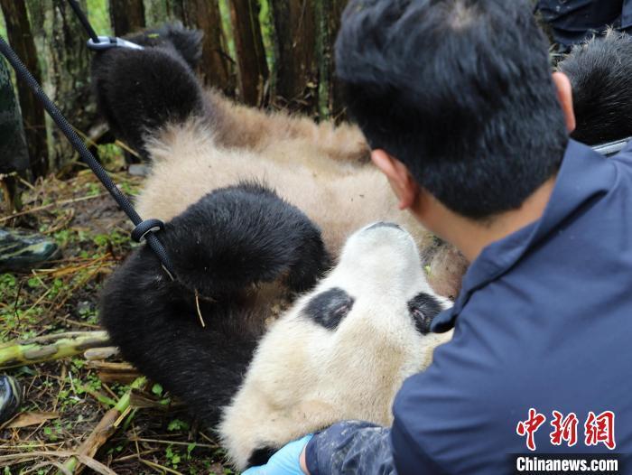 熊猫专家正在检查熊猫身体情况。 张汶雯 摄