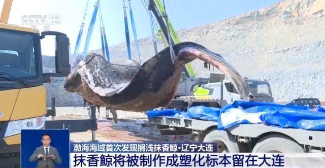 渤海首现搁浅抹香鲸:长近18米重近40吨 尸体将被塑化成标本