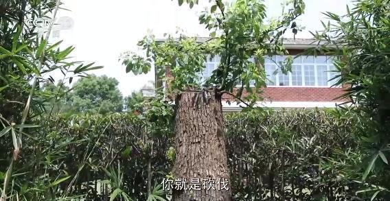 上海老人修剪自家树被罚  树危害大还是情僵硬执法♂危害大?(图3)