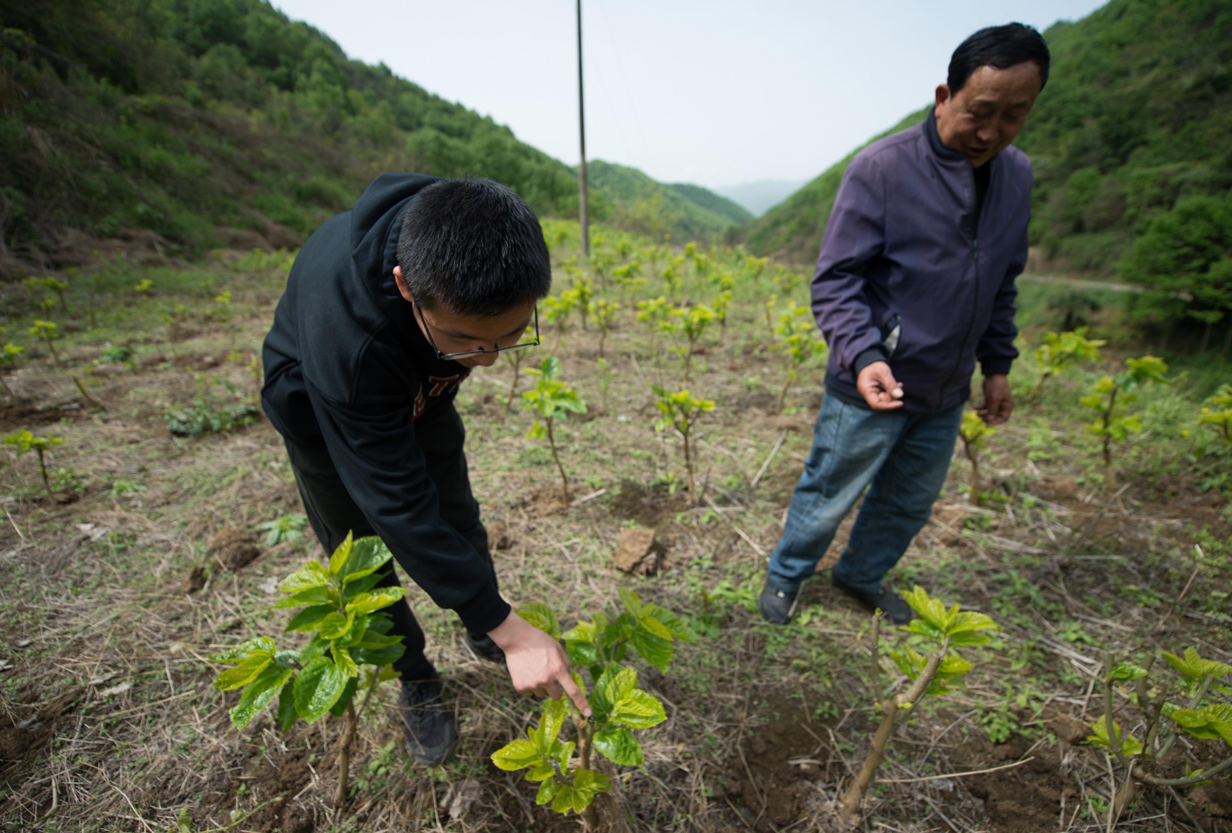 4月16日,在陕西省汉中市西乡县子午镇七星坝村,武轩羽(左)与村民王顺生一起查看桑树树苗生长情况。