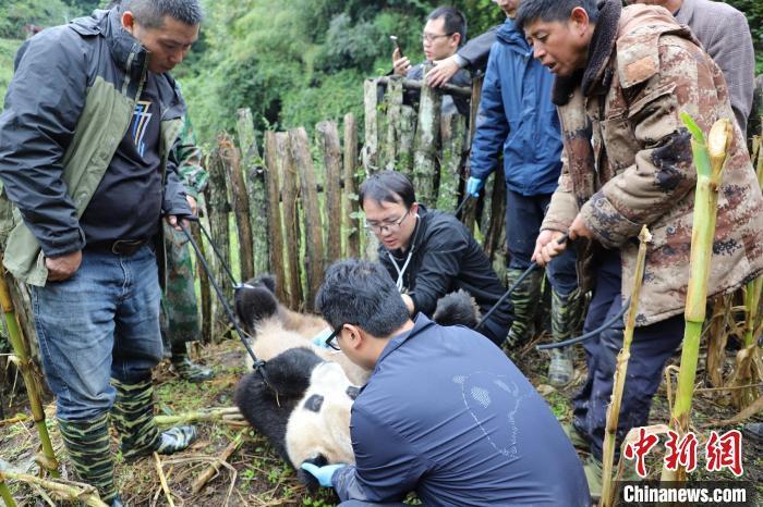 """大熊猫专家正在给熊猫检查。 张汶雯 摄 9月6日,四川乐山峨边彝族自治县勒乌乡余坪村下山""""做客""""的野生大熊猫已送往专业救助站检查和救治。经专家初判,该只野生大熊猫体长约1米,体重约70公斤,年龄超18岁,属于老龄阶段。 9月4日10时左右,勒乌乡余坪村几个小孩子正在外面玩耍,突然发现村民司杜达红家苞谷地里来了只大熊猫,孩子们赶紧跑回家告诉了家长,家长又迅速通知乡政府。勒乌乡余坪村党支部副书记阿仲志布称,发现大熊猫当天下着小雨,熊猫在玉米地里""""闲逛"""",还掰了苞谷杆吃。 据了解,野生大熊猫在勒乌乡出现已不是第一次,发现大熊猫后,当地村民们都知道该如何处置。 接到报告后,成都大熊猫专家迅速赶往现场,专家抵达后首先给大熊猫进行了身体检查。""""初略估计,这只熊猫年龄在18岁以上,在野外条件下已算高龄了。""""熊猫专家称,由于现场条件有限,大熊猫需送往专业救助中心进行进一步检查和监测。 峨边县黑竹沟自然保护区是凉山山系大熊猫生殖的关键地点,也是大熊猫栖息的走廊带之一。(完) 【编辑:王祎】"""
