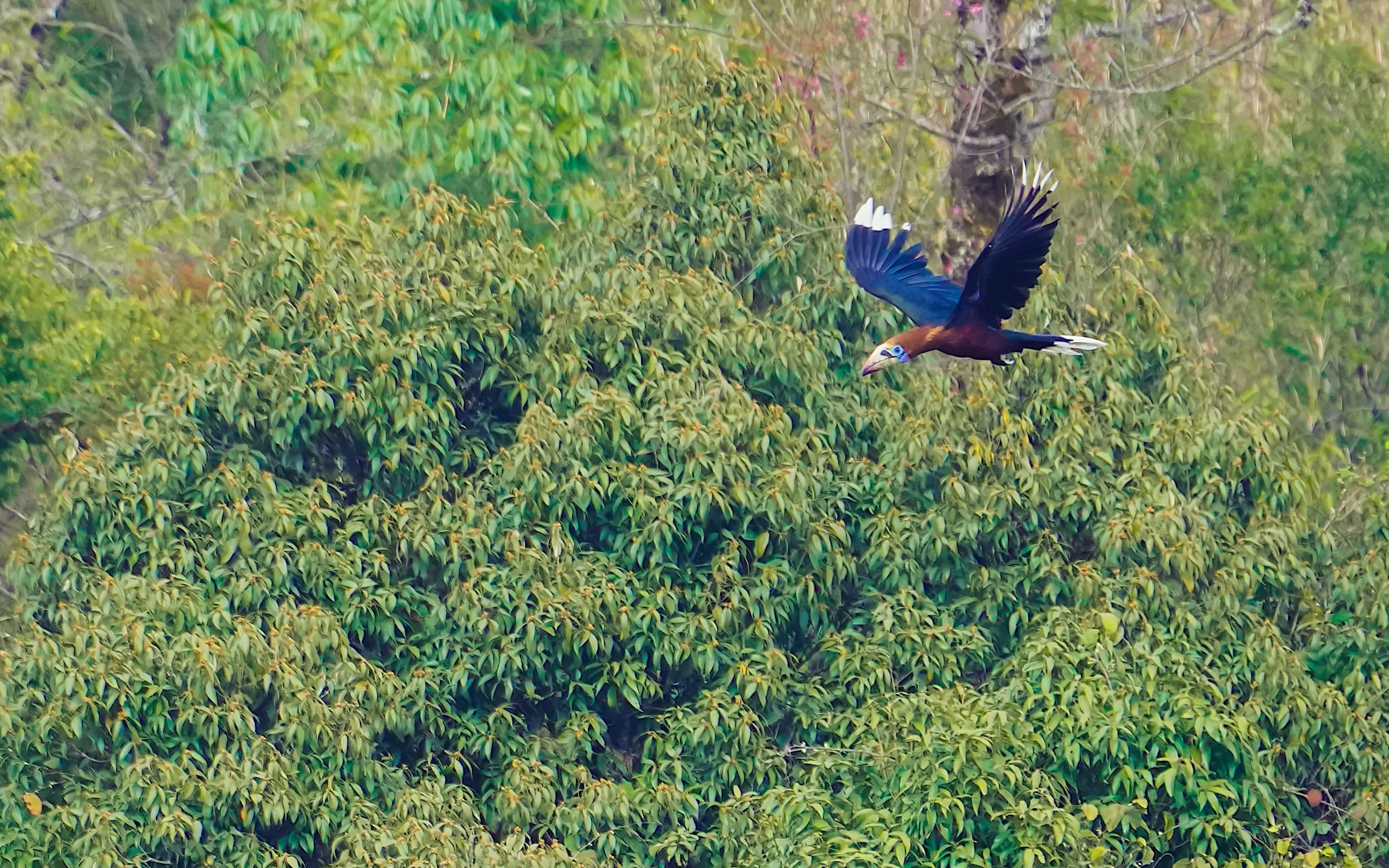 2021年3月,在云南消失30年的棕颈犀鸟现身德宏盈江。图/IC photo