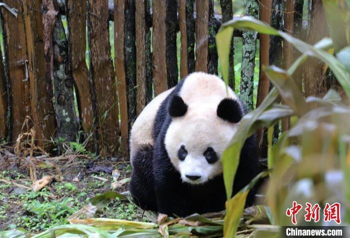 峨边下山的野生大熊猫。 张汶雯 摄