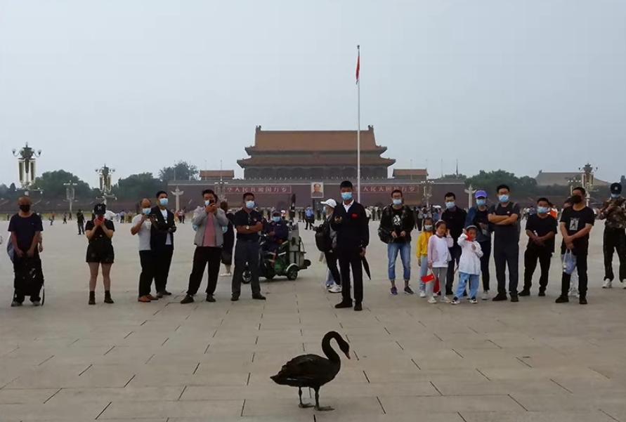 天安门广场升旗仪式后 飞落一只黑天鹅