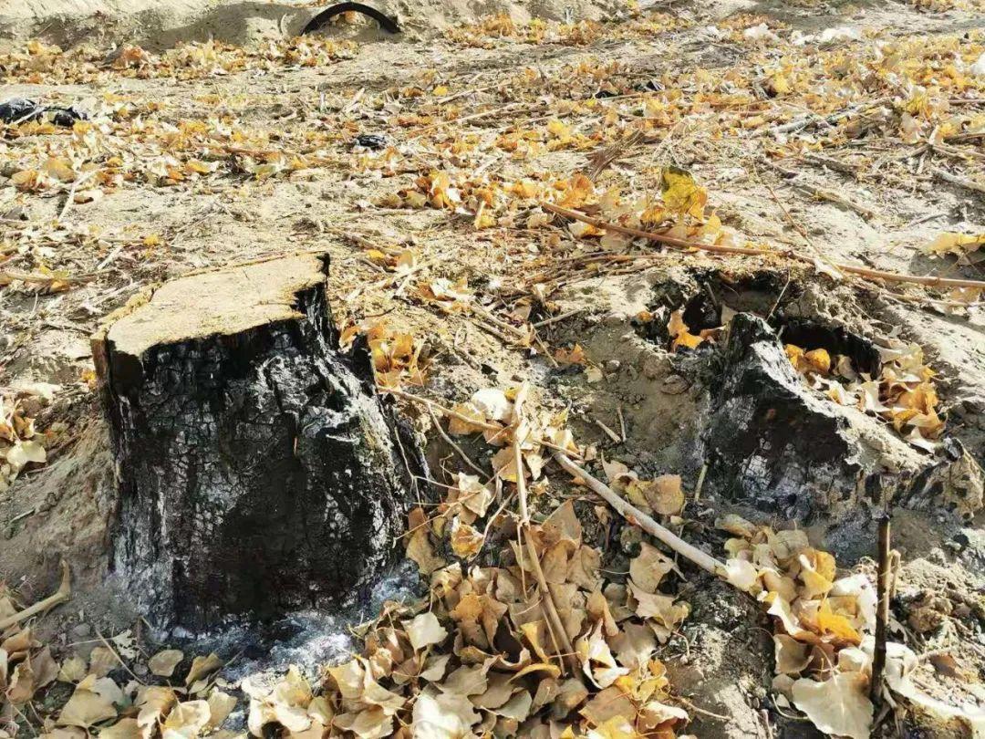 图为林场内一颗被烧焦后的树桩。(2020年10月24日,记者李金红摄)