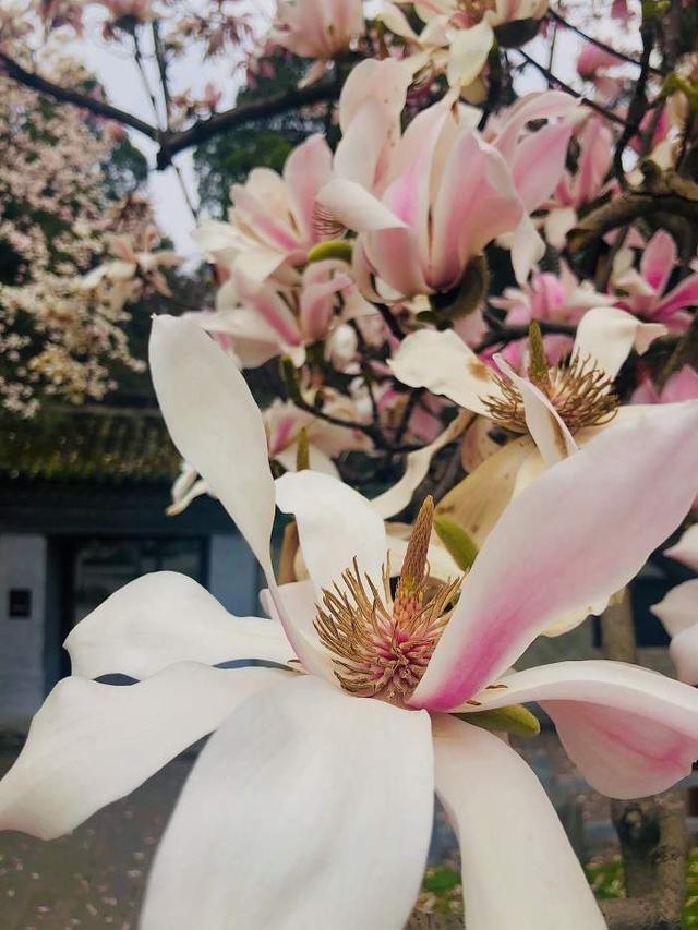 """世界唯一!陕西400多岁的""""植物熊猫""""开花了"""