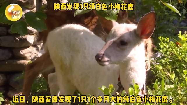 通体雪白!陕西发现1只纯白色小梅花鹿