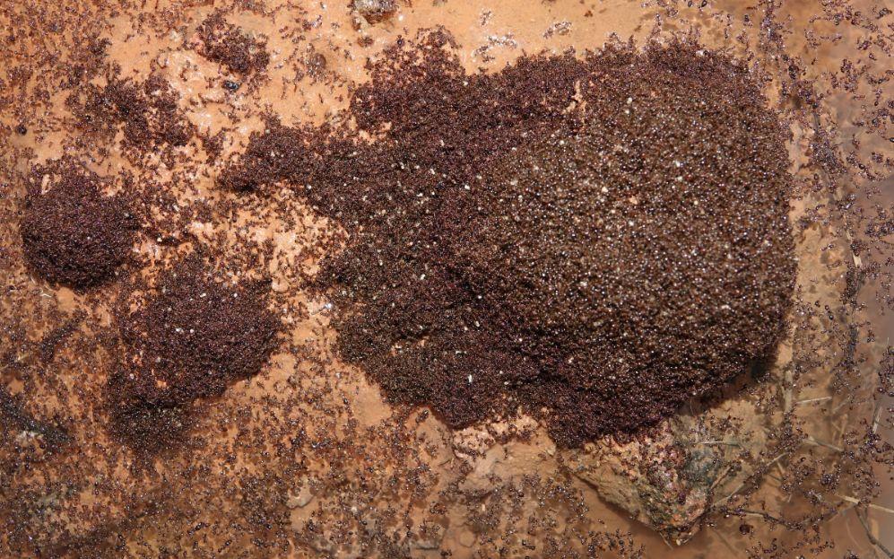 入侵12个省份的红火蚁危害有多大?十问中国红火蚁灾情