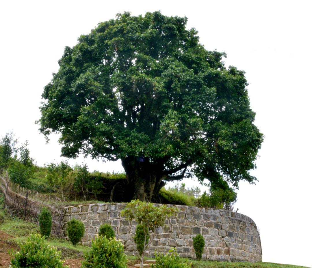 """位于云南临沧市的""""锦绣茶尊""""古茶树。图/视觉中国"""