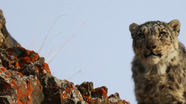 草原牧民拍下雪豹捕羊画面:警惕回头看四周