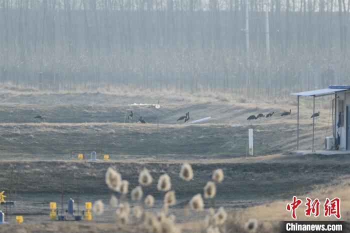 黑鹳是国家一级保护动物,全球仅存2000多只 郭浩 摄 近日,湖北潜江进行2021年越冬水鸟同步调查,该市首次迎来大种群数量黑鹳来此越冬。据了解,黑鹳是国家一级保护动物,全球仅存2000多只,被列入《濒危野生动植物种国际贸易公约》。此次潜江共观测记录黑鹳32只,成为当地黑鹳数量新记录。 【编辑:李霈韵】
