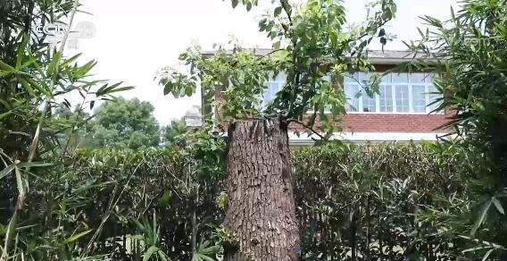 上海老人修剪自家树被罚  树危害大还是情僵硬执法危害大?(图13)