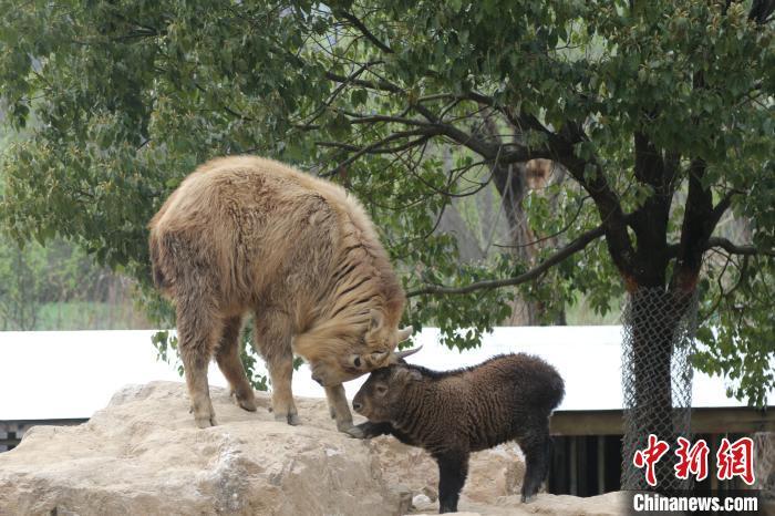 """金毛羚牛""""思牪""""与妈妈互动。 董森超 摄"""