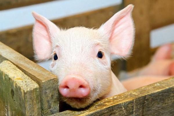 华为首次回应涉及养猪:华为不养猪只帮企业养好猪