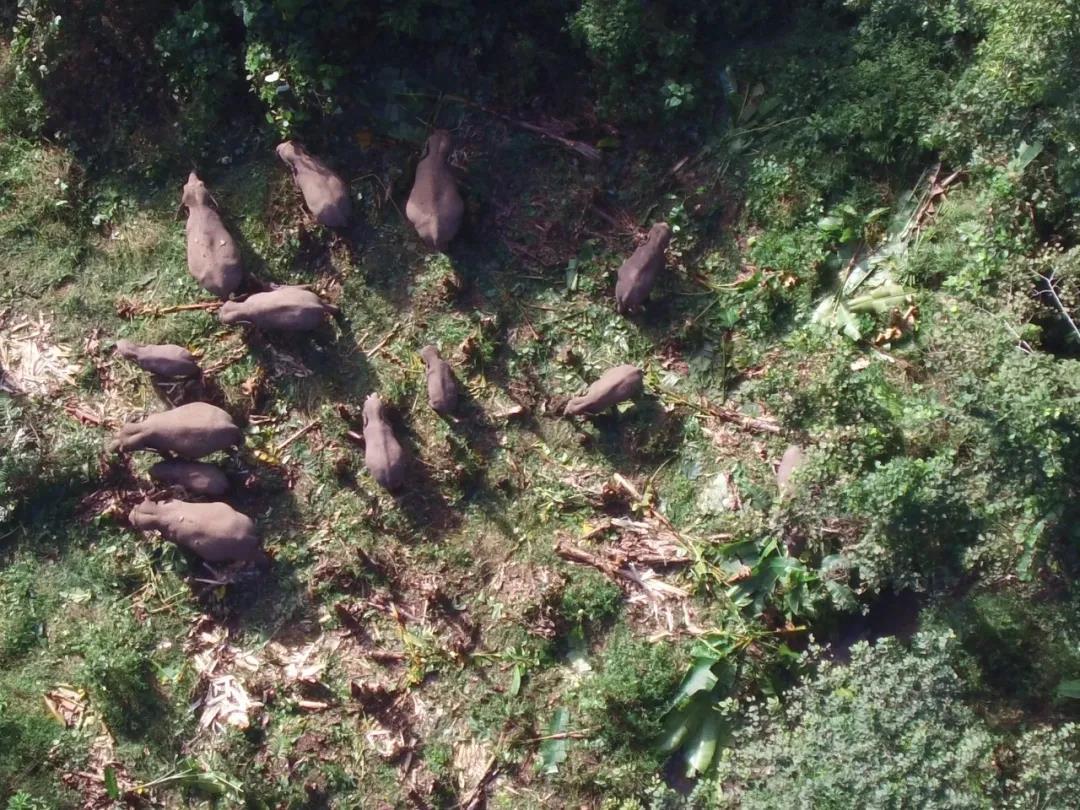 2020年12月,18头亚洲象重返云南西双版纳勐仑保护区,当地紧急启动肇事预警监测。图自央视