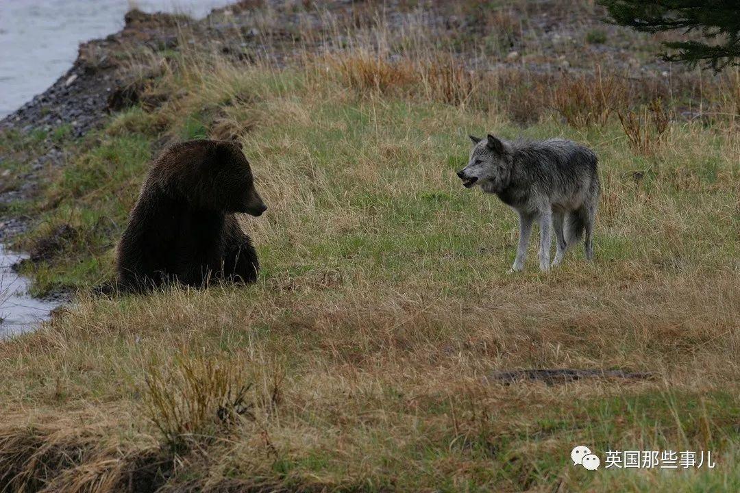 黄石公园最强狼王21!它统领一生,却独钟情于她!太传奇~