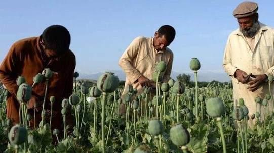 种植罂粟的阿富汗人