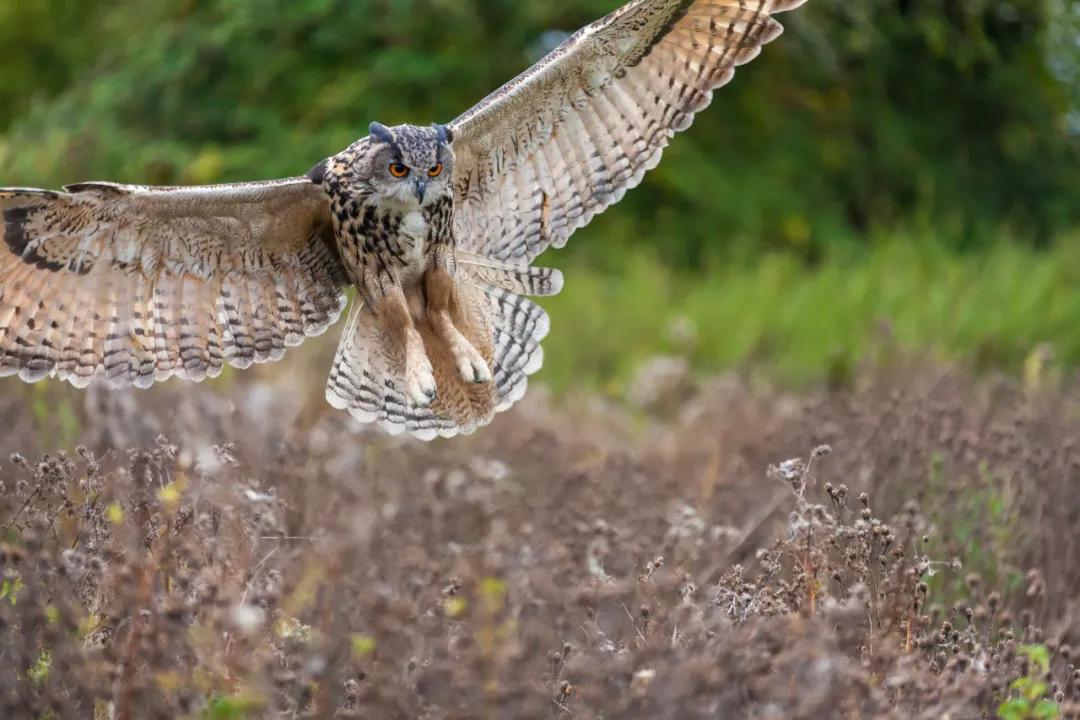 猫头鹰 图源   摄图网