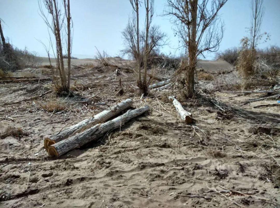 图为林场内四处可见被砍伐的胡杨树。(当地志愿者2016年摄)