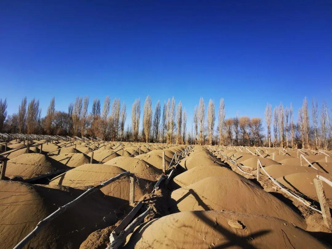 图为被砍伐的林地大多已完成起垄和整架,用于葡萄种植。(2021年1月13日,记者李金红摄)