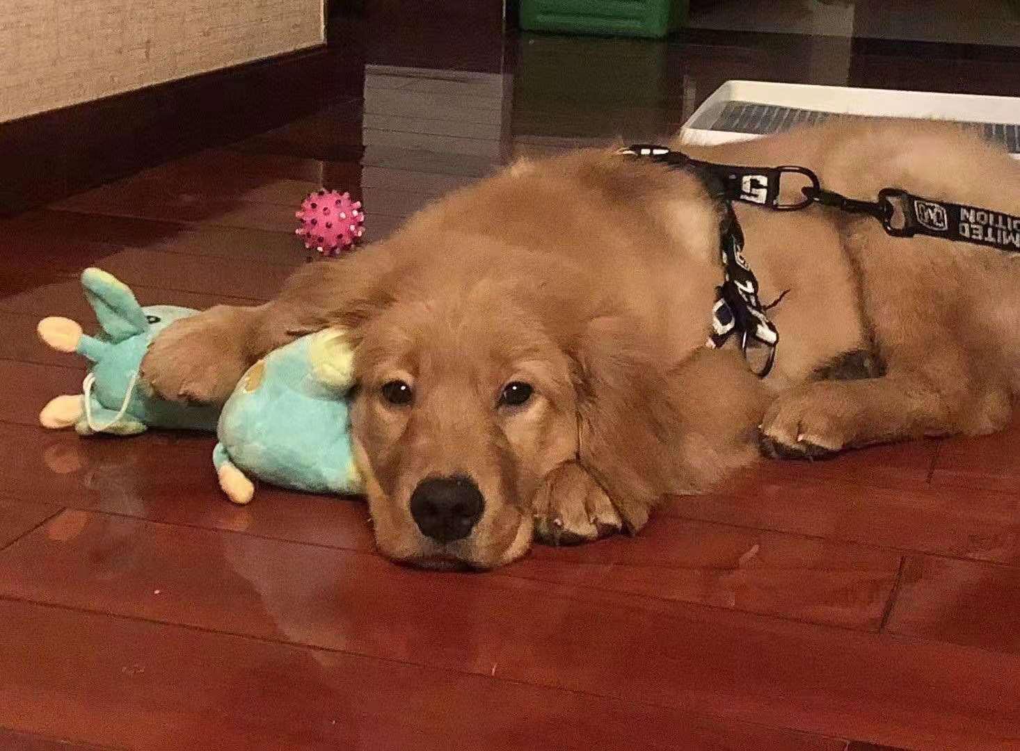 在托运中因空运被私改为陆运导致死亡的金毛犬Siri。受访者供图