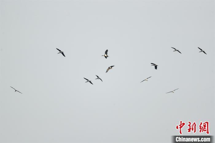 潜江共观测记录黑鹳32只,成为当地黑鹳数量新记录 郭浩 摄