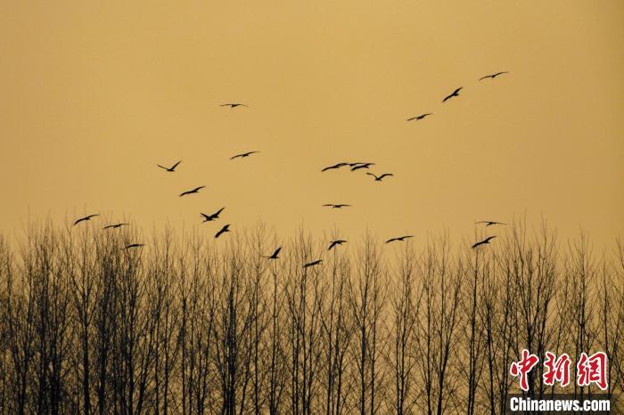 湖北潜江首次迎来大种群数量黑鹳越冬 张晓红 摄