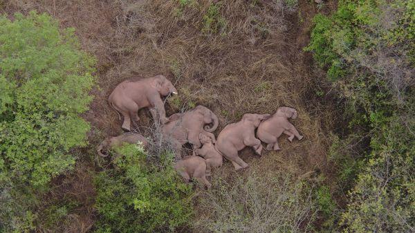 2021年6月7日,云南省昆明市晋宁区夕阳乡,航拍野象群集体躺下睡觉。(人民视觉)