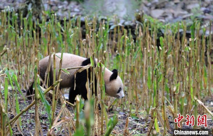 在村民苞谷地里逛耍的大熊猫。 张汶雯 摄
