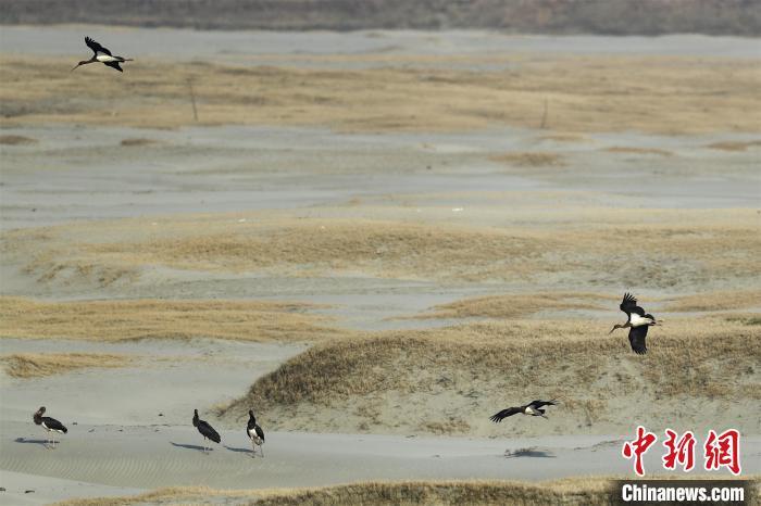 黑鹳在沙滩上停留 李喜荣 摄