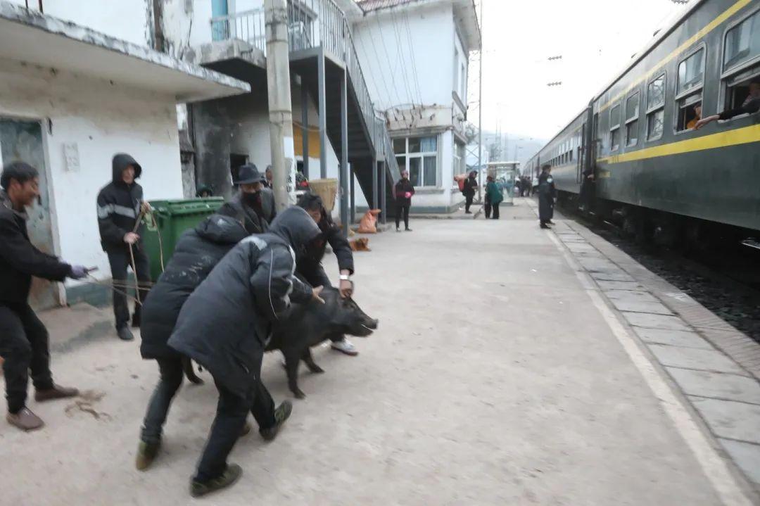 2月27日,5633次列车停靠尼波站,乘客赶着一头猪上了火车。5633/5634次列车上设有专门的货物车厢,乘客可以免费放置物品,通常,大型的牲畜,家禽,会被带往货物车厢。新京报记者 王嘉宁 摄